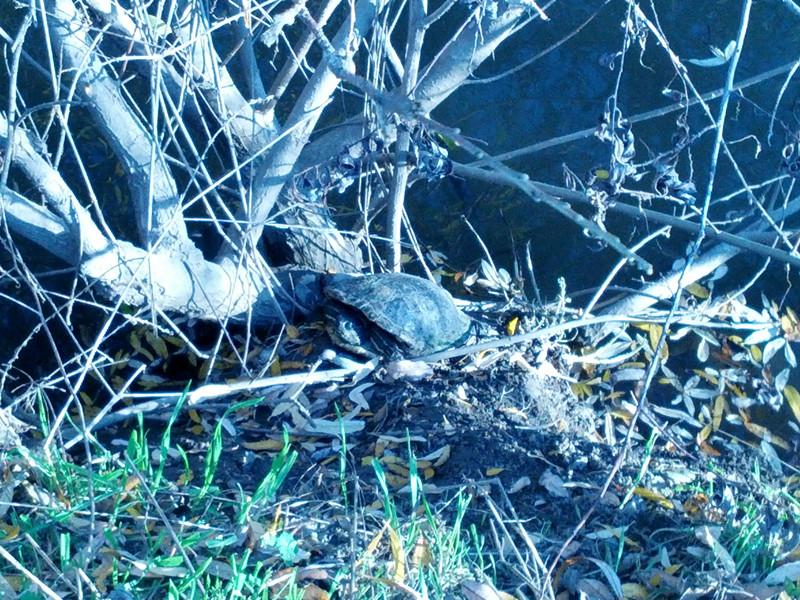 fremont central park-turtle