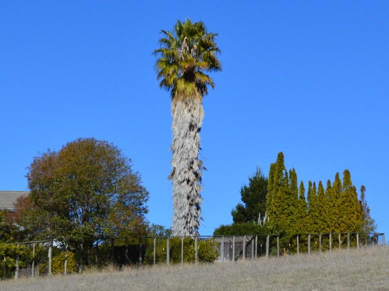 fremont mission peak palm tree