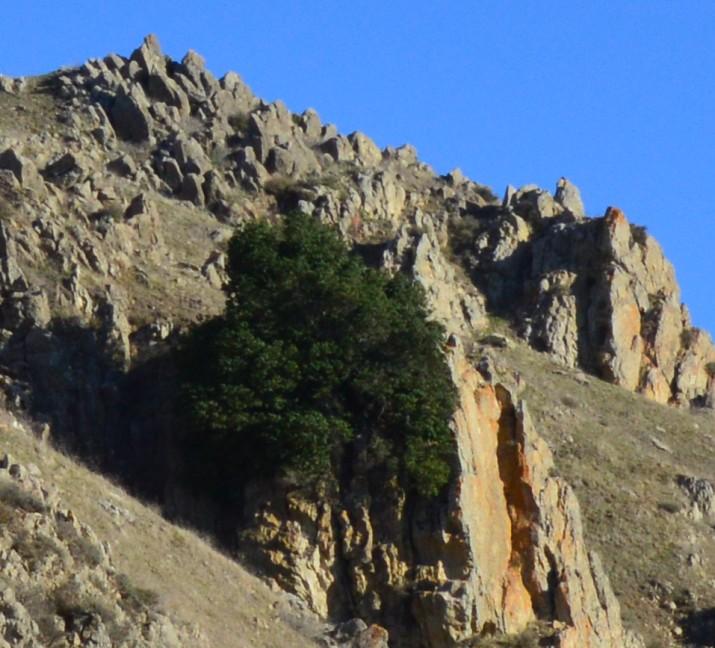 mission peak-tree on the rock