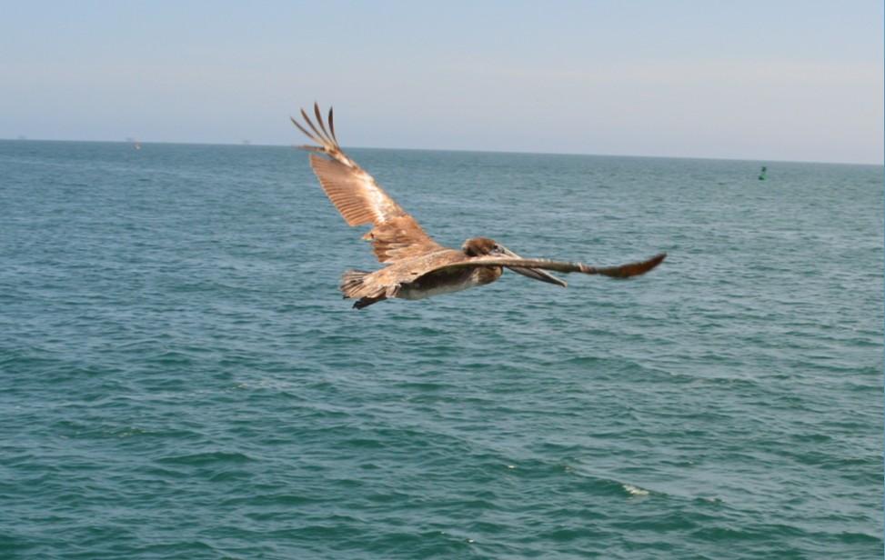 santa barbara stearns wharf_bird