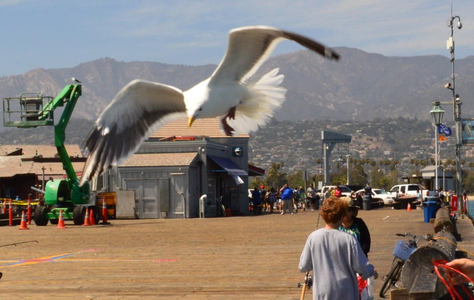 santa barbara stearns wharf_bird2