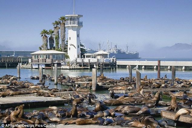 sf sea lion full