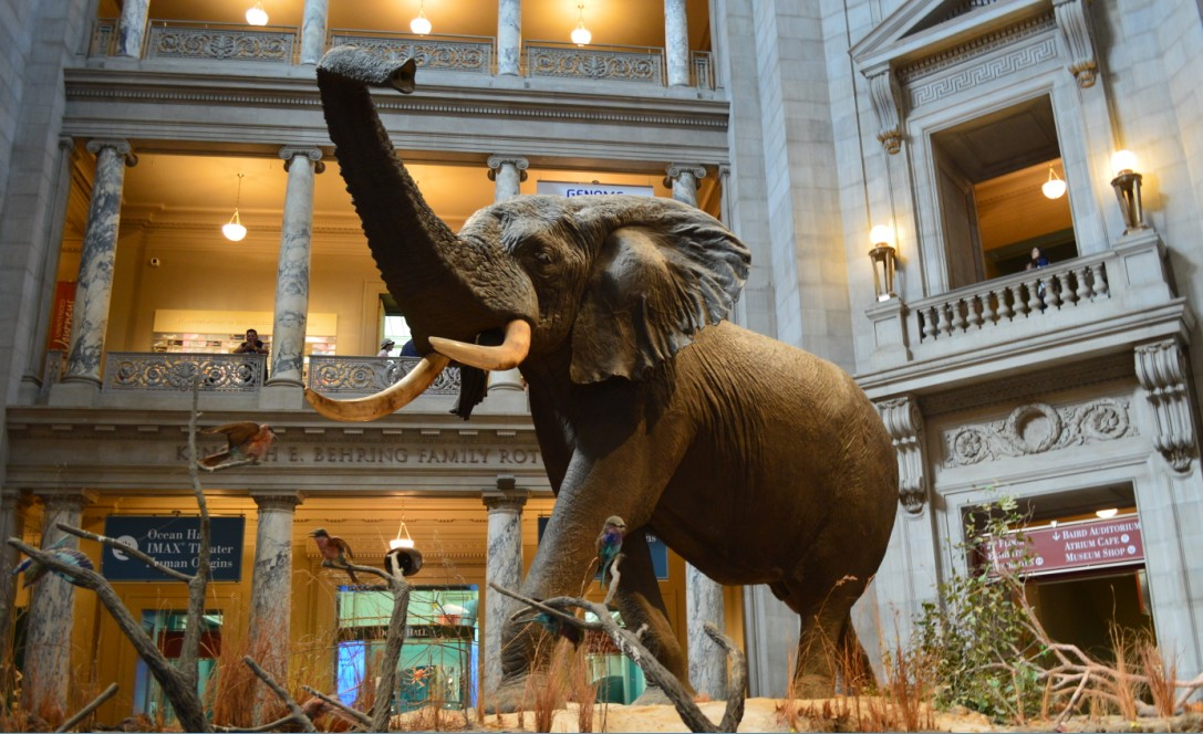 washington-dc-The National Museum of Natural History_elephant