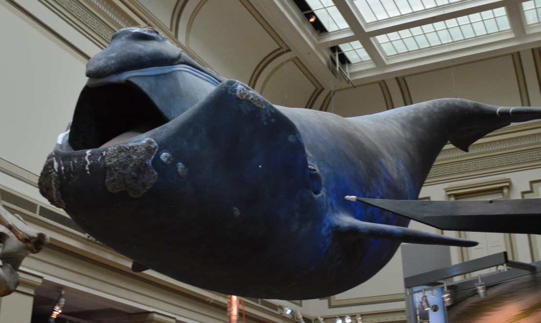 washington-dc-The National Museum of Natural History_whale